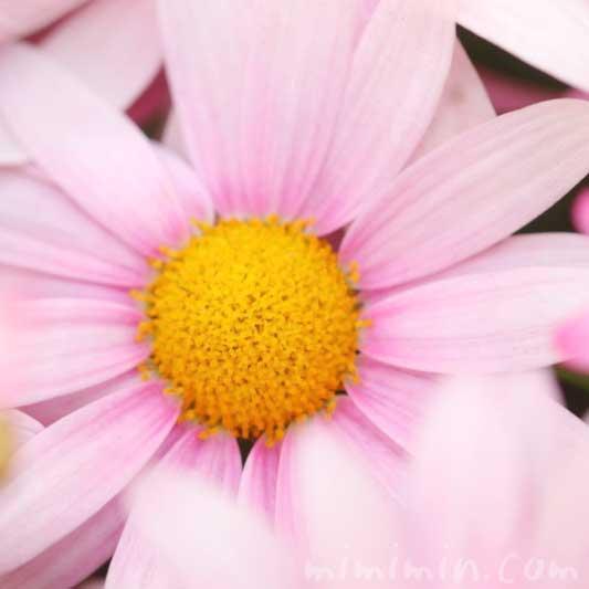 ピンク色のマーガレットの花の写真 花言葉 誕生花