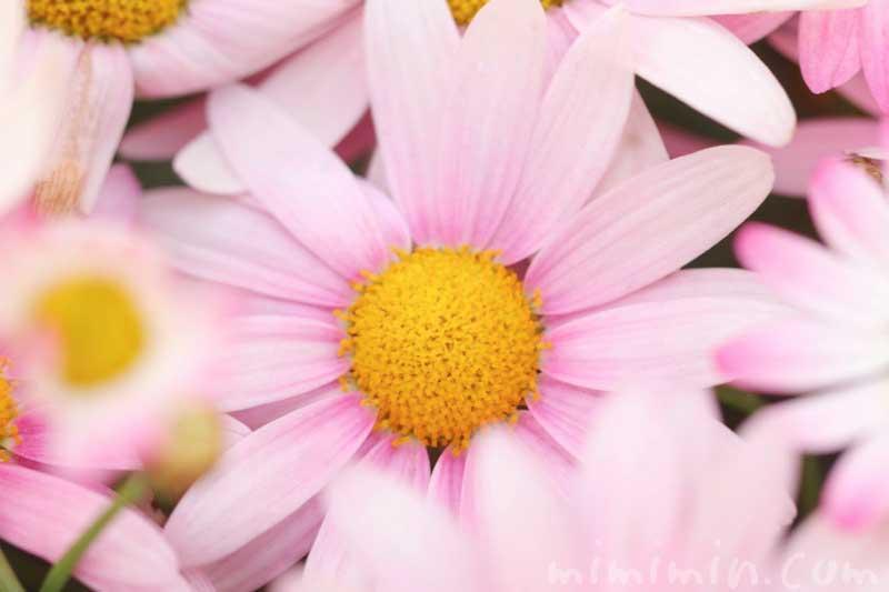 ピンク色のマーガレットの花の写真・花言葉