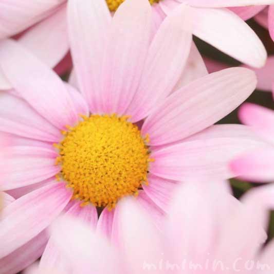 ピンク色のマーガレットの花の写真と花言葉と誕生花の画像