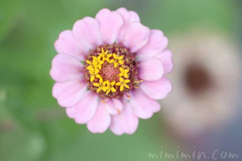 ジニアの花の写真・花言葉の画像