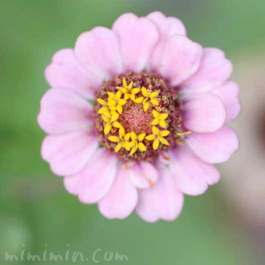 百日草の花の写真・花言葉の画像