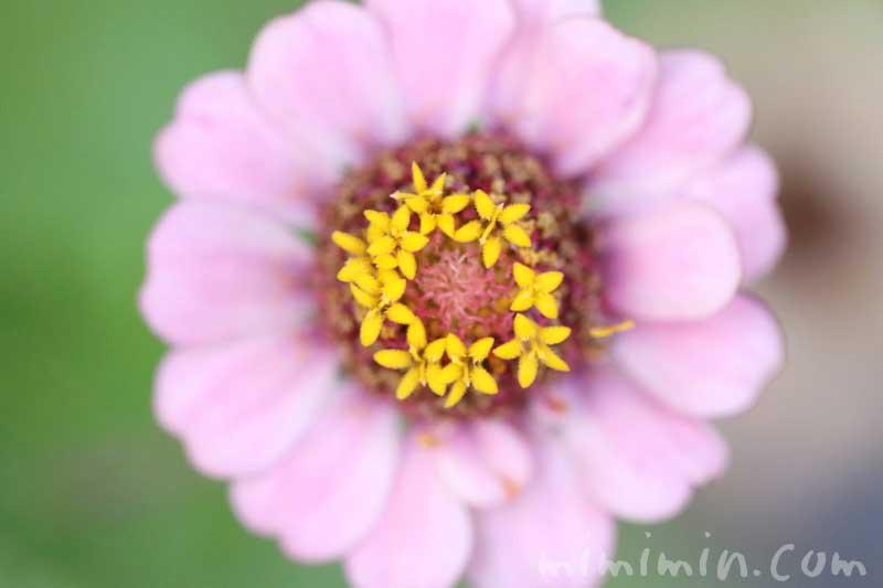 ヒャクニチソウの花の写真・花言葉の画像