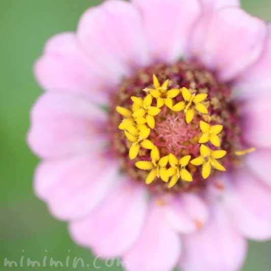 百日草の写真・花言葉の画像