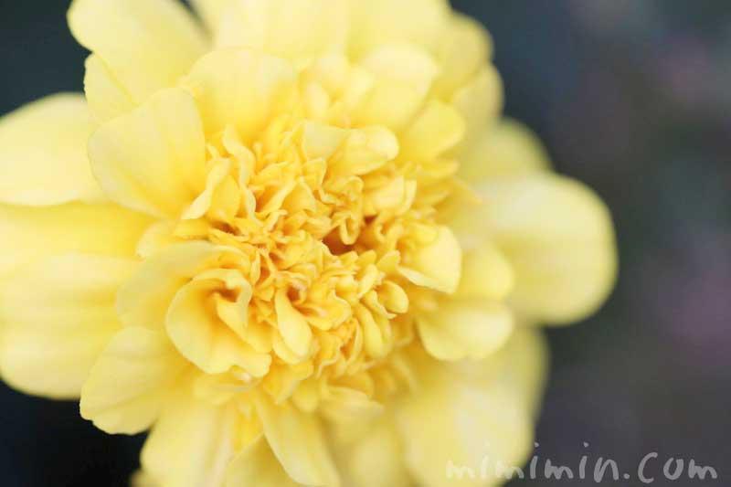マリーゴールドの花の写真・花言葉の画像