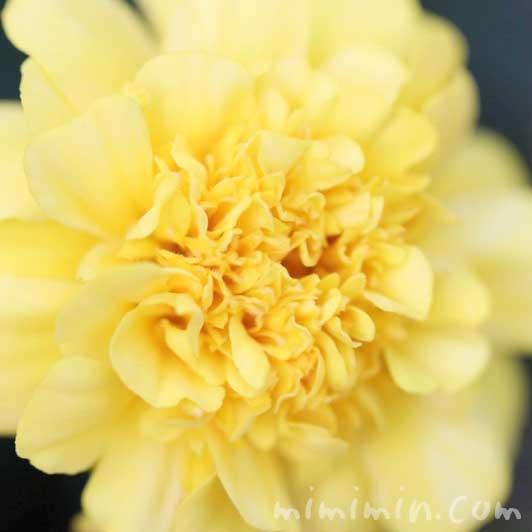 マリーゴールドの花言葉の画像