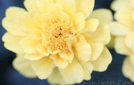 マリーゴールドの写真・花言葉の画像