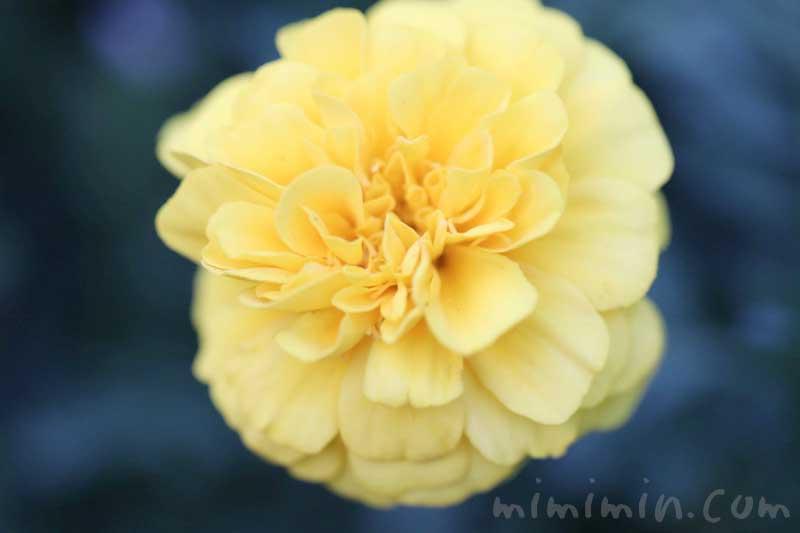 マリーゴールドの花言葉と誕生花の画像