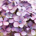アジサイの花・紫