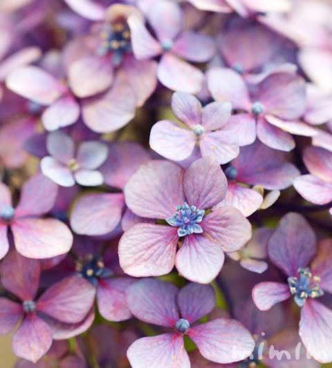 アジサイ(紫陽花)|花言葉・名前の由来・誕生花