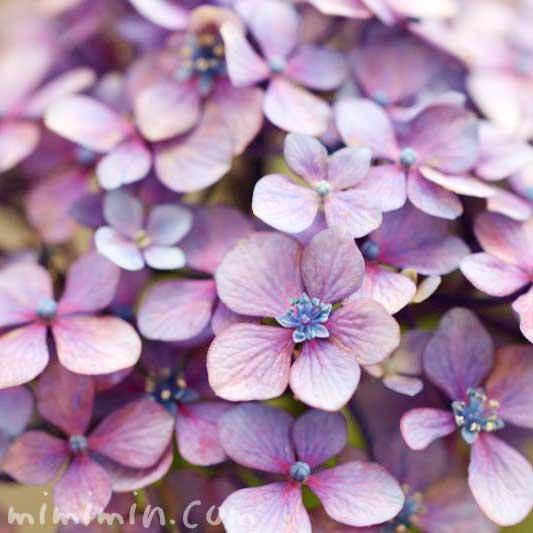 アジサイ・紫