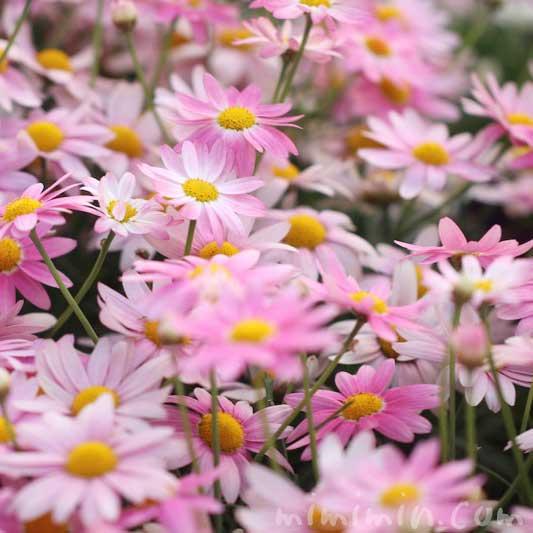ピンク色のマーガレットの写真と花言葉と誕生花