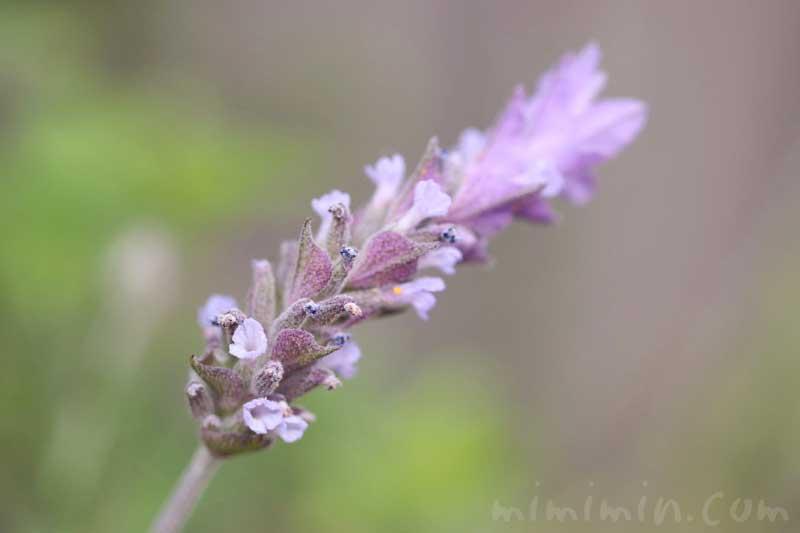 ラベンダーの花言葉の画像