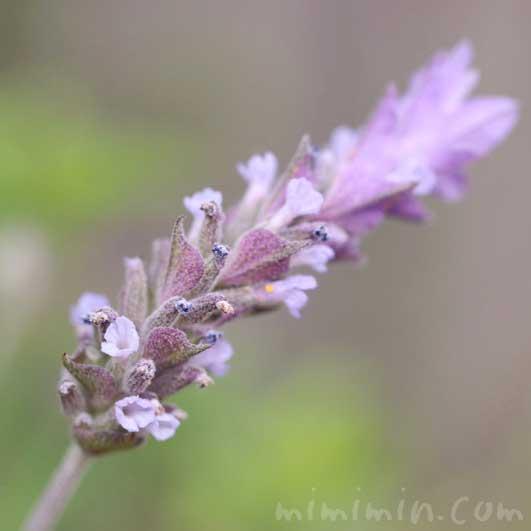 ラベンダーの花の写真・花言葉