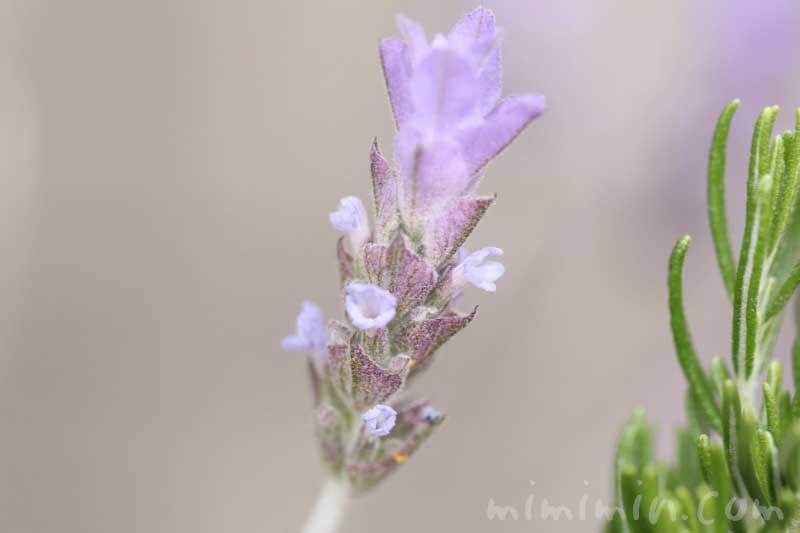 ラベンダーの写真・花言葉の画像