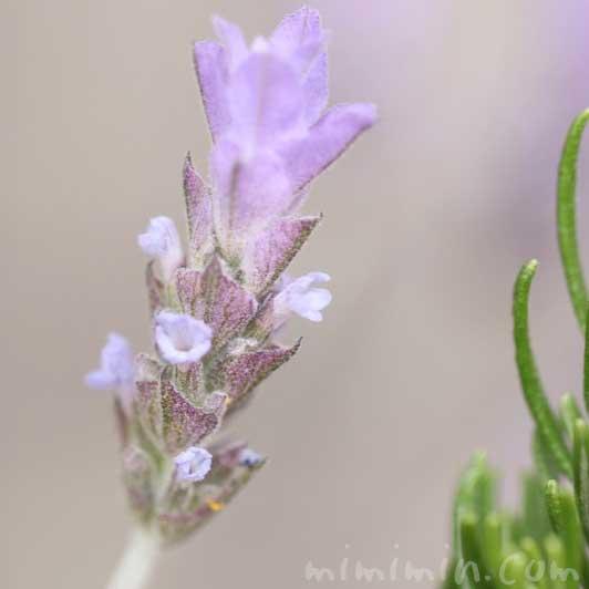ラベンダーの写真と花言葉