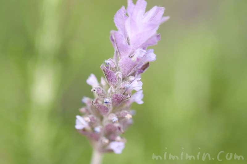 ラベンダーの花の写真と花言葉の画像