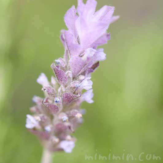 ラベンダーの花言葉と誕生花の写真