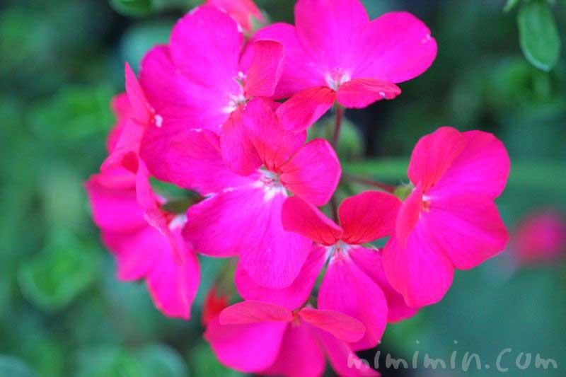 ゼラニウムの花の写真と花言葉と誕生花の画像