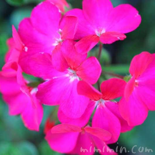 ゼラニウムの写真と花言葉と誕生花の画像