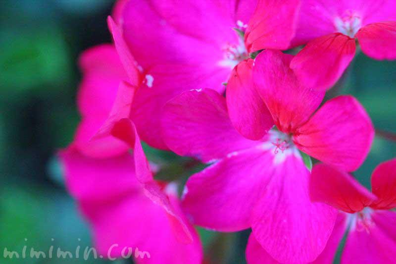 ゼラニウムの花の写真と誕生花