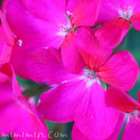 ゼラニウムの写真と誕生花