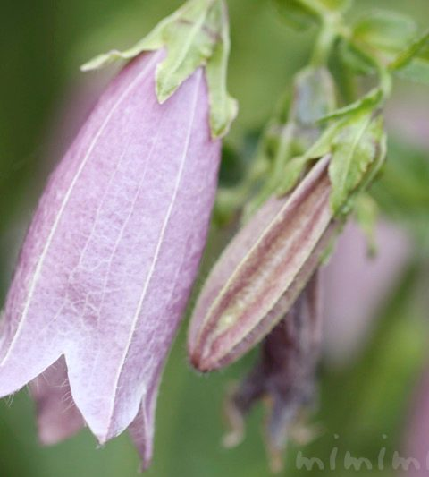 ホタルブクロの花の写真・花言葉・名前の由来