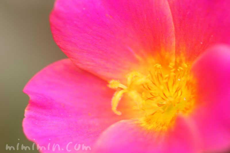 ハナスベリヒユ(濃いピンク)の写真