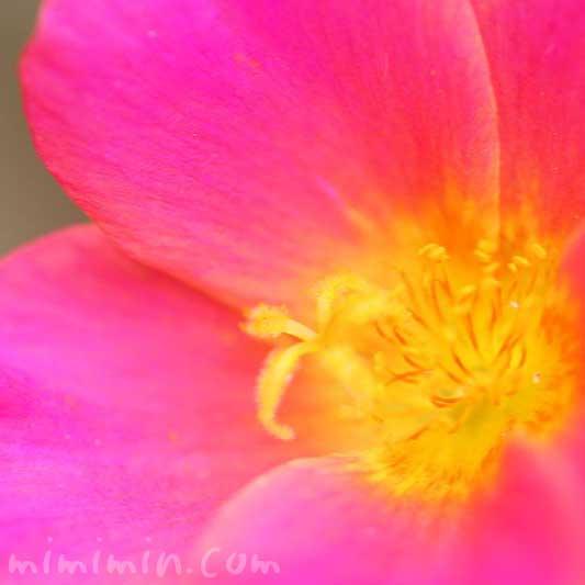 ポーチュラカの花言葉の写真