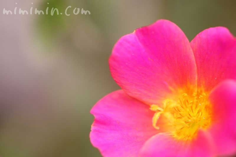 ポーチュラカの花言葉