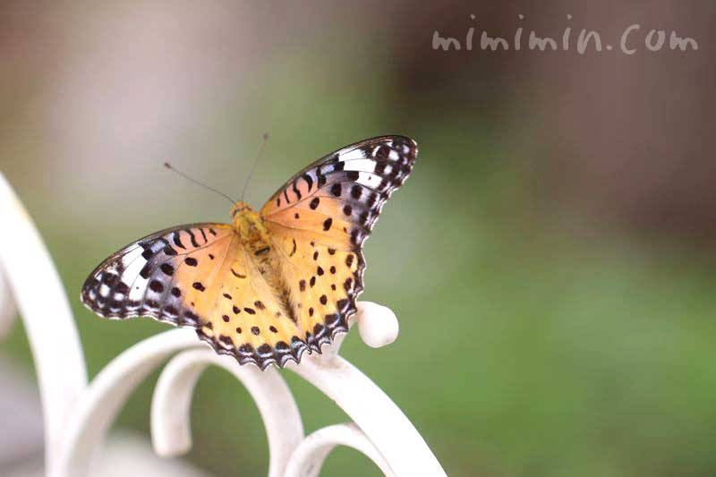 ヒョウ柄の蝶