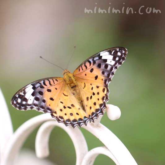 ツマグロヒョウモン・蝶の写真
