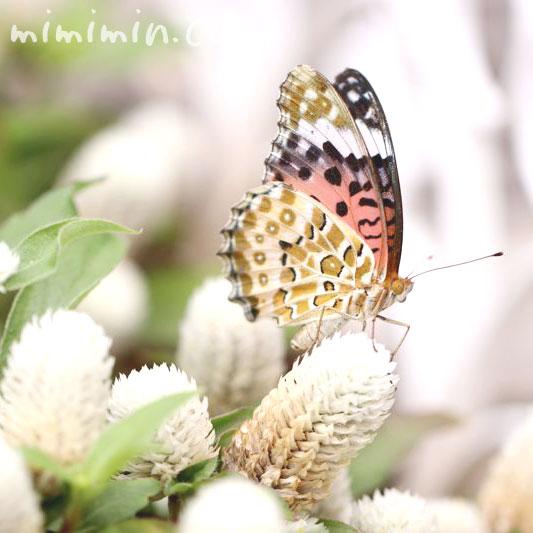 ツマグロヒョウモン・蝶