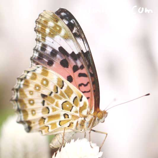 ヒョウ柄の蝶の写真