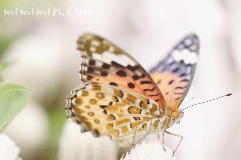 豹柄の蝶の写真