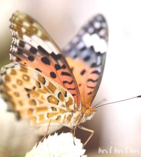 ツマグロヒョウモン|ヒョウ柄の蝶