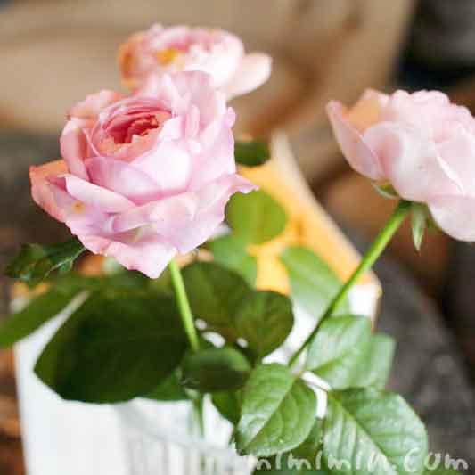 バラの花・スカイラウンジ コンパスローズの画像