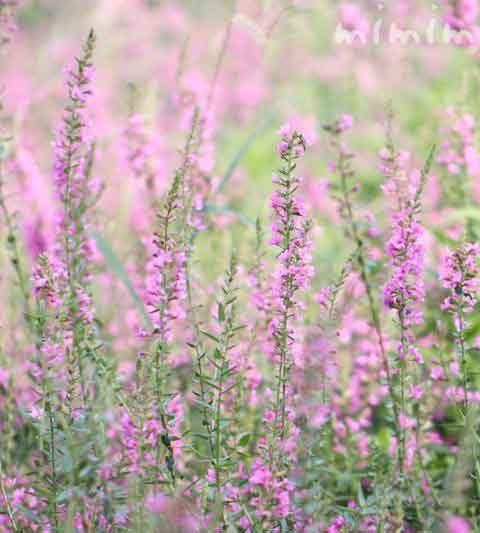 ミソハギ(禊萩)の花言葉・花の写真|お盆に供える花(盆花)