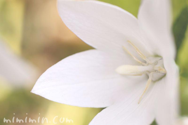 白いキキョウの写真