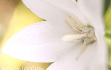 白いキキョウの花の画像