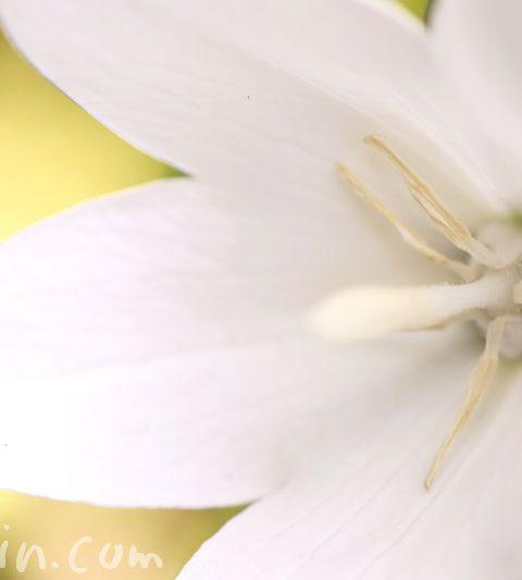 桔梗(キキョウ)の花言葉・誕生花・白い桔梗の花の写真