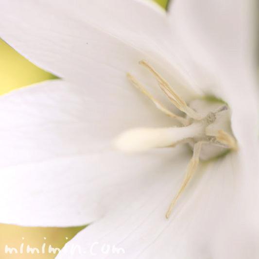 桔梗の花・白色の写真