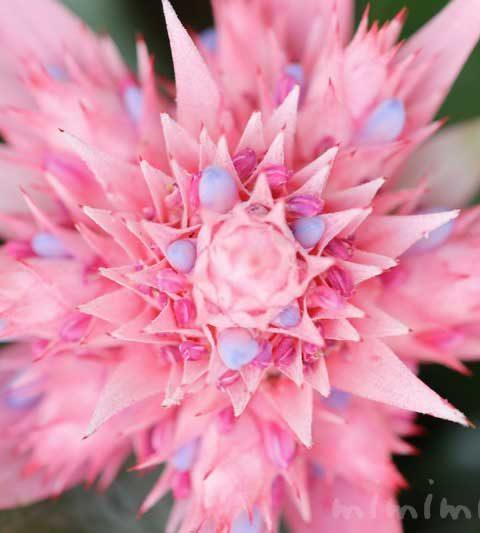エクメアの花言葉・誕生花・名前の由来|エクメア・ファスキアタ