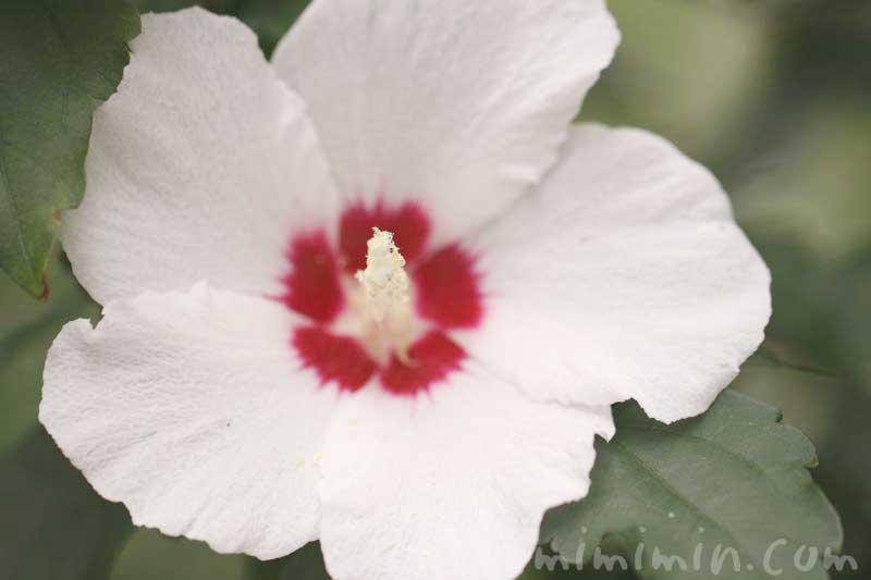 ムクゲの花の写真・花言葉・名前の由来の画像