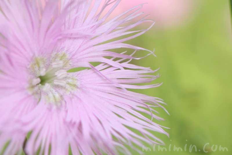 カワラナデシコ(薄いピンク)の花の写真