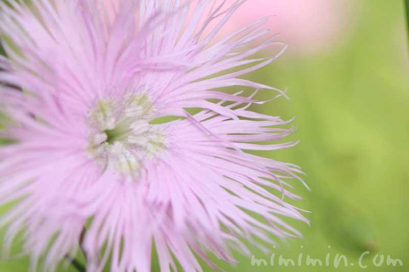 カワラナデシコ(薄いピンク)の画像