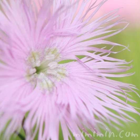 河原撫子(ピンク色)の花の画像