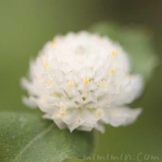 センニチコウの花の写真と花言葉の画像