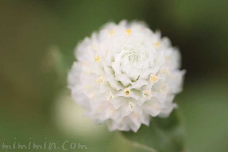 センニチコウの写真と花言葉