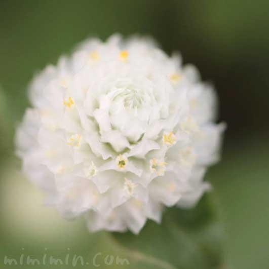 センニチコウの写真と花言葉の画像
