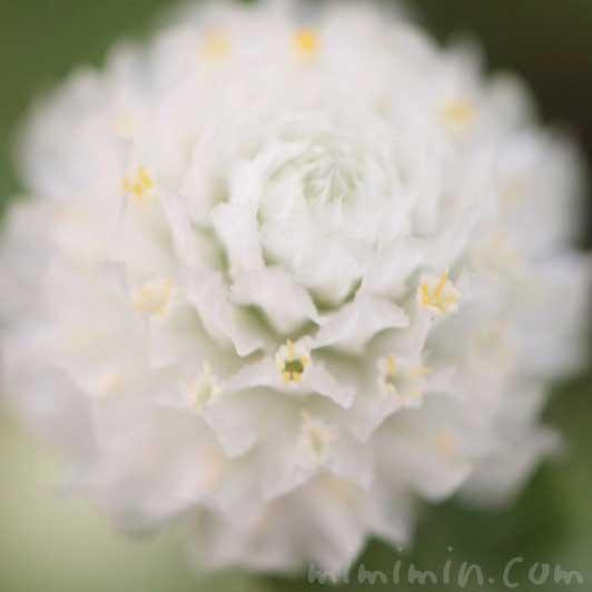 センニチコウの花の写真 花言葉